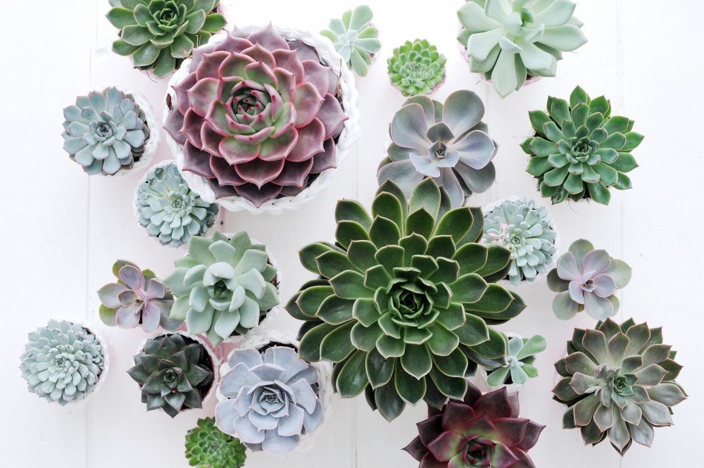 Echivera House plant