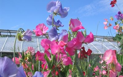 Time to plant Sweet Peas