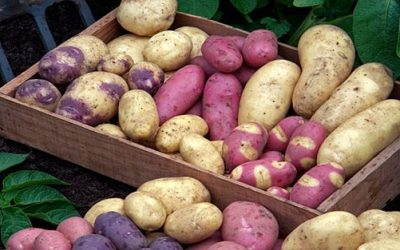 Seed Potatoes are now in stock!!!